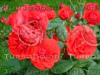 Red rose 20090505 023