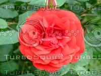 Red rose 20090505 027