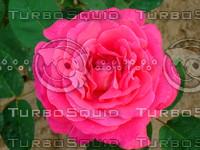 Red rose 20090505 029