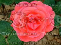 Red rose  20090505 030