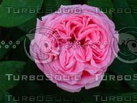 Red rose 20090505 035