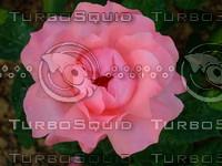 Red rose 20090505 036
