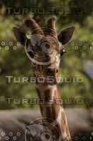 Baby giraffe face
