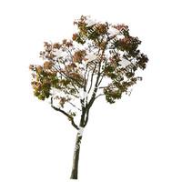 Bradford Pear Tree 2
