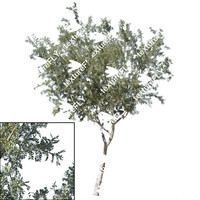 Ironwood Tree