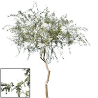 Chilean Mesquite Tree 3