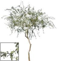 Chilean Mesquite Tree 3
