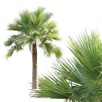 guadalupe_palm.png