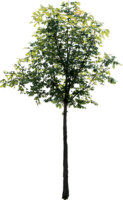 tree81