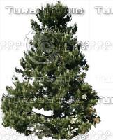 Large Austrian Pine