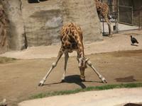 giraffe_01
