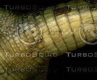crocodile_05.jpg