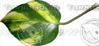 Devils Ivy Leaf 01.psd