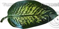 diffenbachia leaf 01.psd