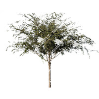 Chinese Elm Tree 3