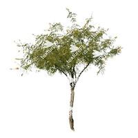 Cascalote Tree
