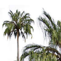 Ribbon Fan Palm