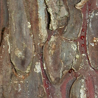 bark mediterranean pine