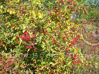 crab apples 03.jpg