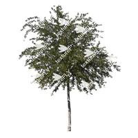 Arizona White Oak Tree