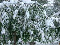 Snow Tree 20091112 085