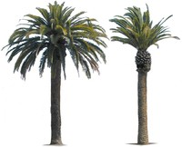 Canary Island Date Palm.zip