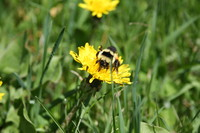 SPX_Bumblebee005