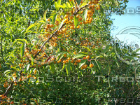 crab apples 02.jpg