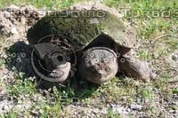 SPX_Turtle001