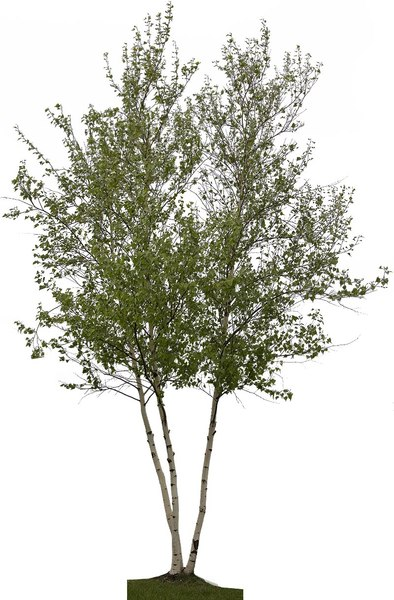 White Spire Birch Clump (Betula Populifolia)02.jpg