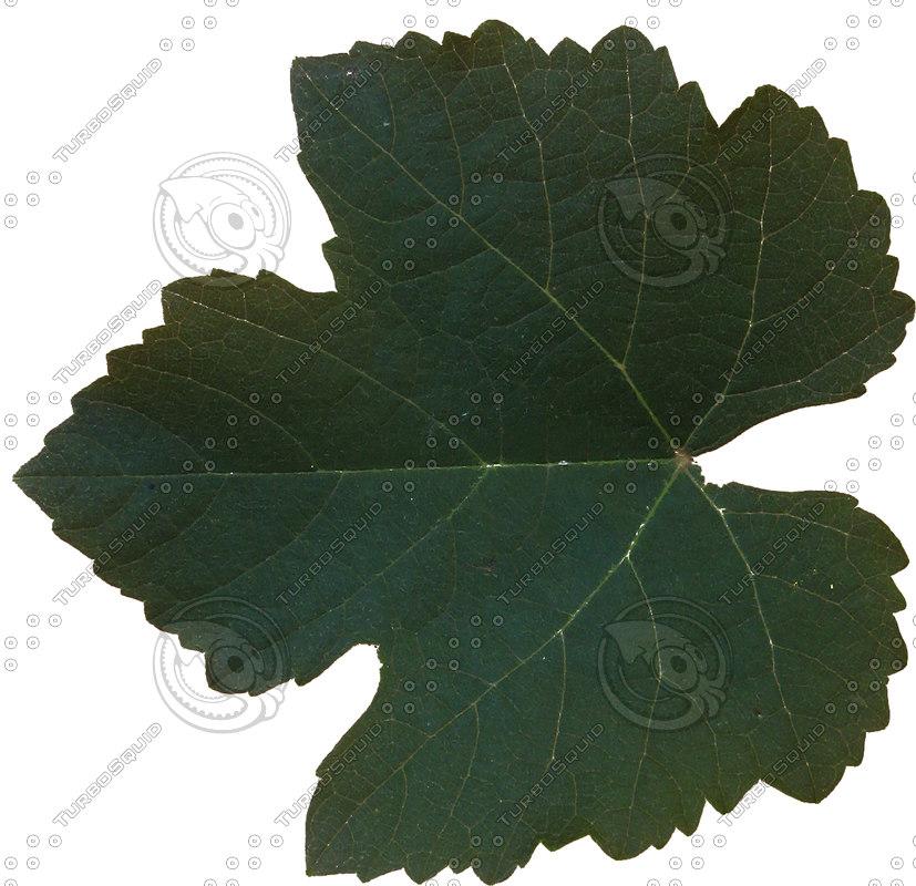 Grape_leaf.jpg