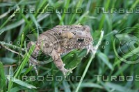 SPX_Toad002