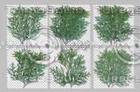 6 Cedar Sprigs