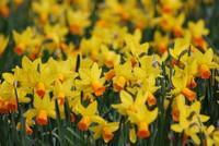 Flowers_Daffodil_0002