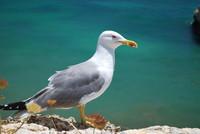 Bird_Seagull_0002