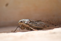 Insect_Cicada