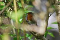Bird_Robin_0001
