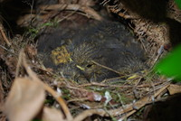 Bird_Robins Nest_0004