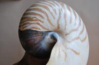 Nautilus Shell_0001