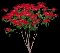 Poinsettia B - Euphorbia pulcherrima