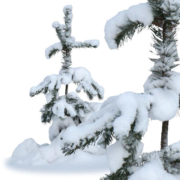 winter-fir3.jpg
