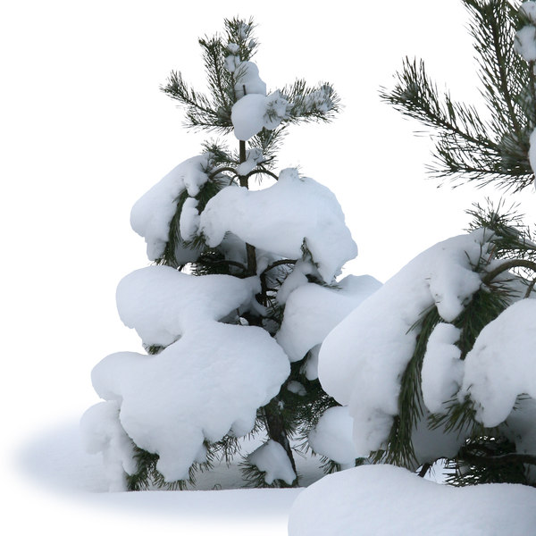 winter-fir4.jpg