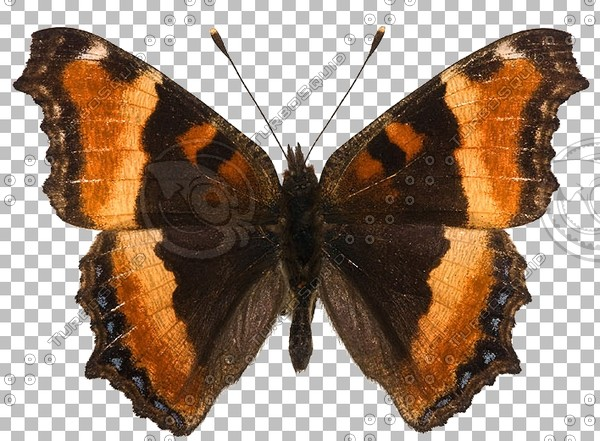Aglais milberti_top view_screenshot.jpg