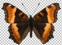 Butterfly (Aglais milberti)