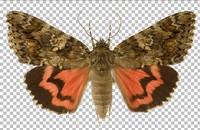 Butterfly (Catocala sponsa)