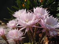 Flowers_Cacti