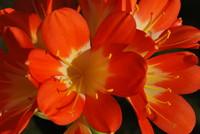 Flowers_Clivia
