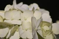 Flowers_Hortensia_0001