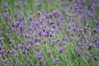 Flowers_Lavender_0003