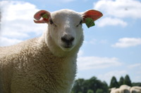 Animal_Sheep_0002